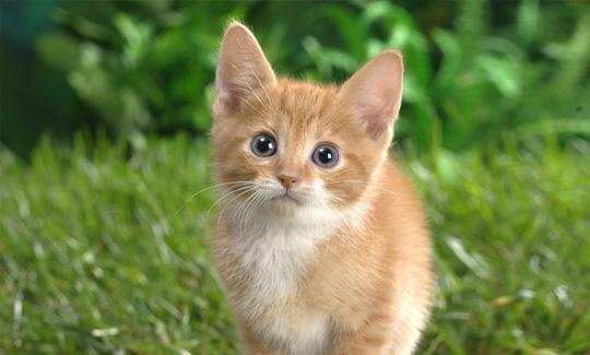 certified kitten
