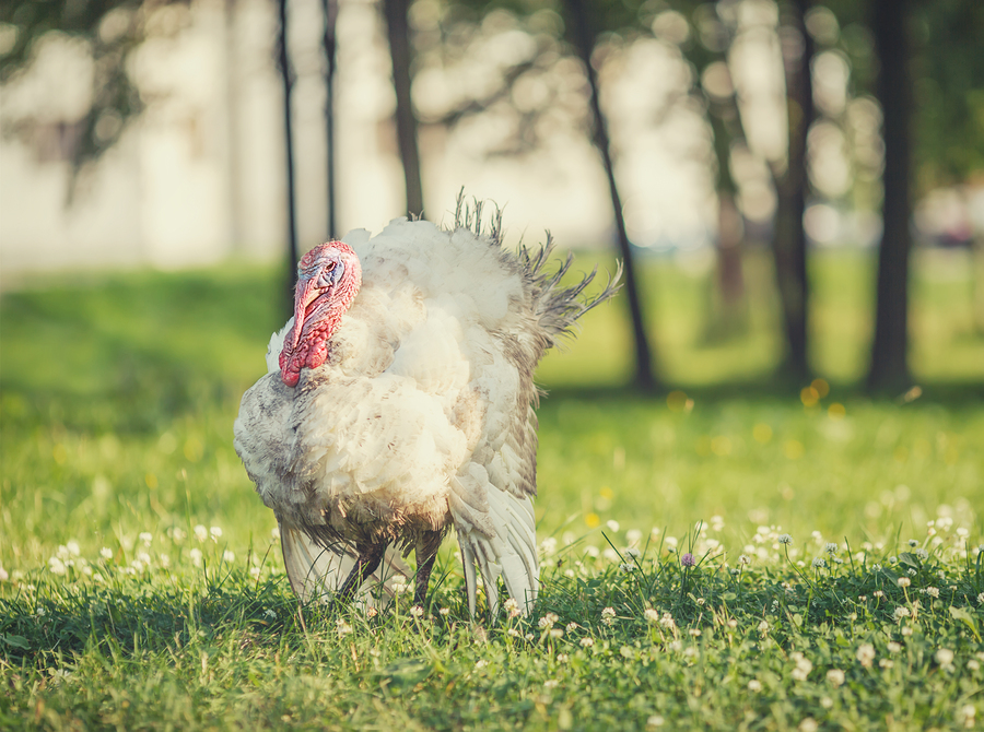 Turkeys Are Not Just For Thanksgiving