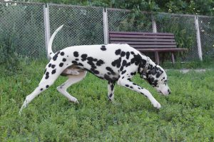 Dalmatian Dog Black And White