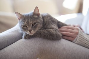 Furry tabby cat lying on its owner's lap