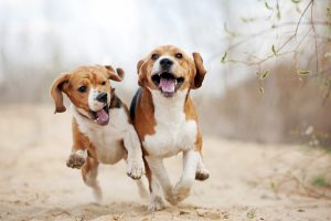 Beagle Dogs Running
