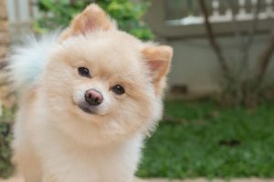pomeranian small dog cute pets friendly in home question face