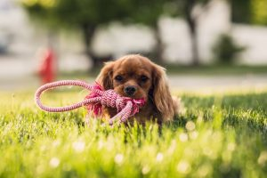 Brown Shih Tzu on Green Grass