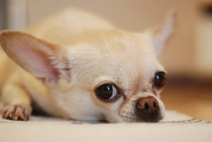 Chihuahua Lying on White Textile