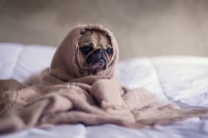 Tan Pug Covered With Brown Blanket