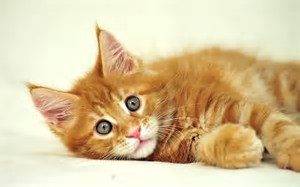 kitten laying down
