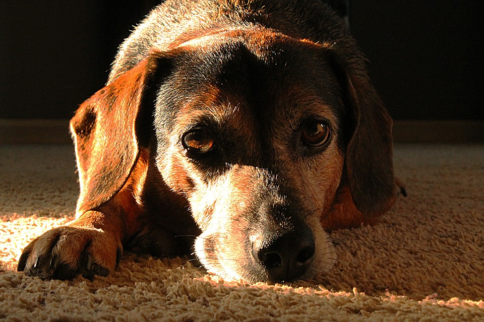 The Common Causes of Heartworm in Dogs
