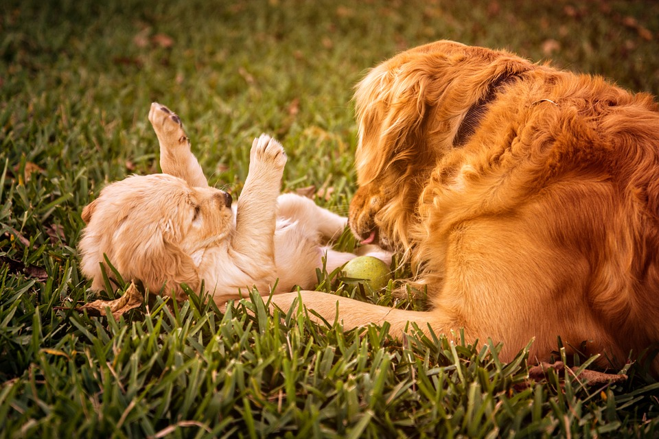 Should You Consider Getting Your Pet Dog to Mate?